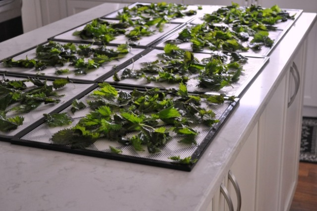 Nettles ready for the dehydrator