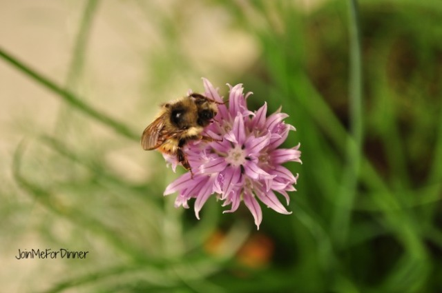 Bees love chive blossoms