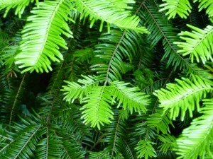Don't confuse with Douglas Fir.